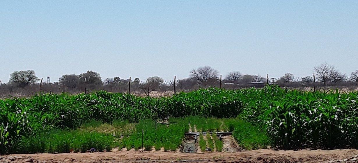 Vergleich von drei Bewässerungstechniken und zwei Futterpflanzen
