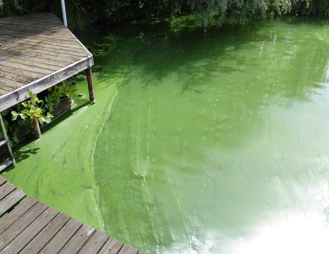 Massenentwicklungen von Blaualgen bilden Aufrahmungen am Ufer eines EU-Badegewässers. Meist ist die Folge übler Gestank und die Bildung von Blaualgentoxinen, die das Baden nicht möglich machen.